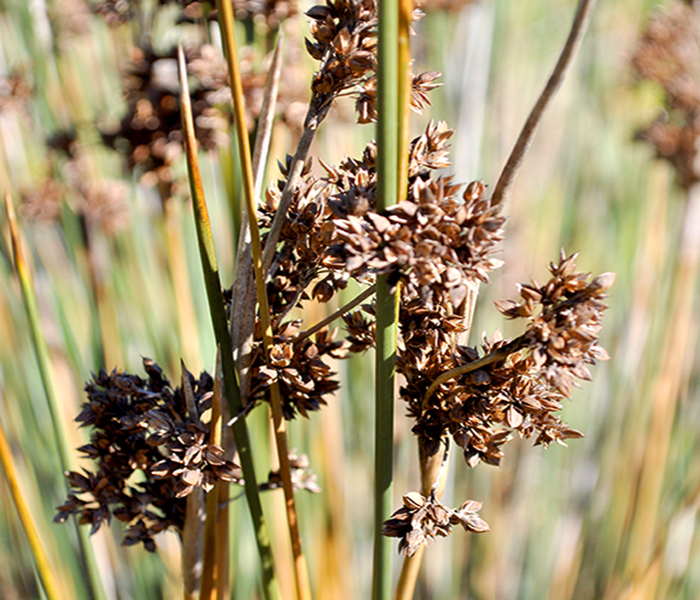 juncus_seeds
